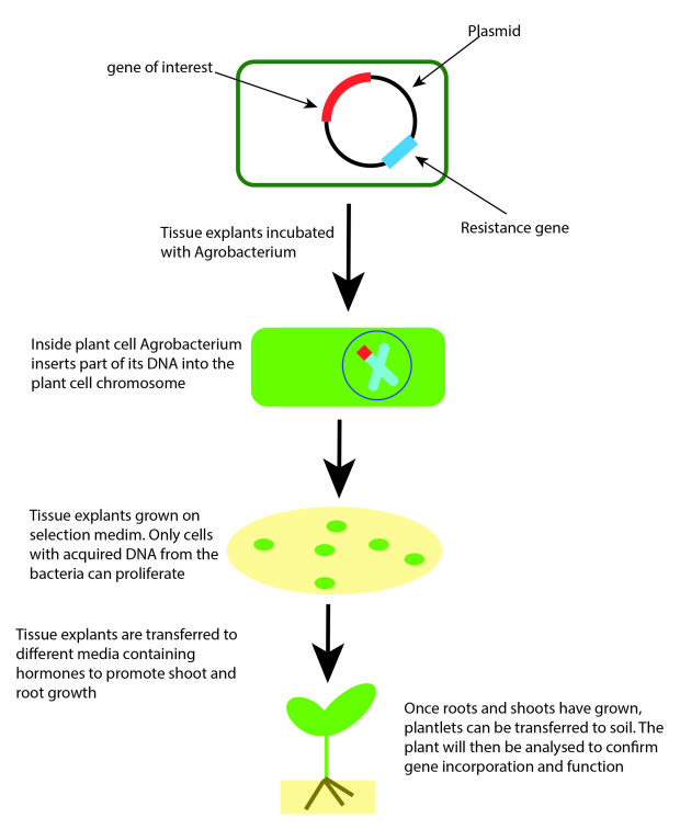 What Is Plant Transformation John Innes Centre