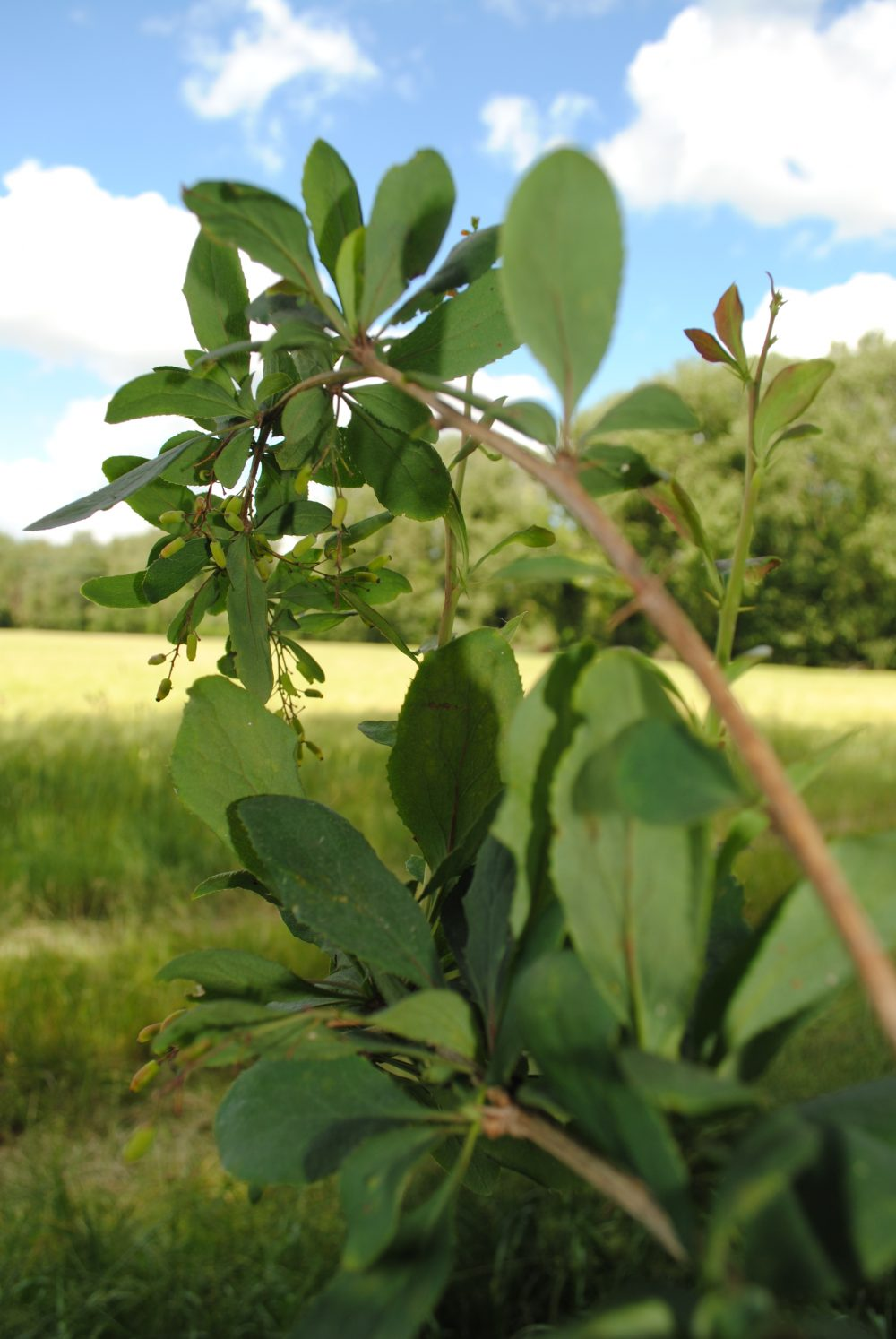 Barberry bush in close proximity to barley field - Credit Clare Lewis John Innes Centre
