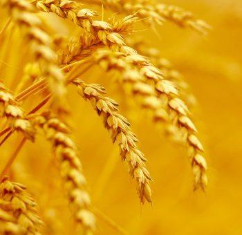 Modern wheat Elite cultivars lack genetic diversity of wild relatives