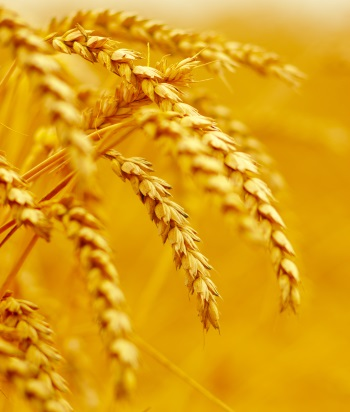 Modern wheat Elite cultivars lack genetic diversity of wild relatives