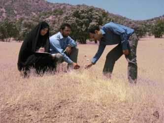 Searching for wild relatives of modern wheat cultivars. Credit - Ali A. Mehrabi