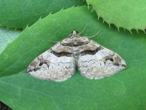 Barberry carpet moth. Photography by Mark Parsons Butterfly Conservation
