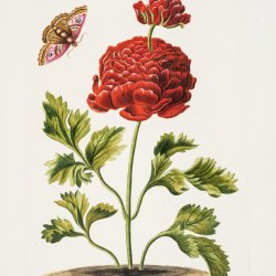 Illustration from C J Trew's Hortus Nitidissimus (1785) John Innes Historical Collections