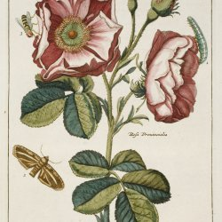 Illustration from Nederlandsch Bloemwerk, attributed to Paul Theodor van Brussel. John Innes Historical Collections