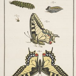 Page from A J Rösel's, De natuurlyke historie der insecten (c. 1765). John Innes Historical Collections