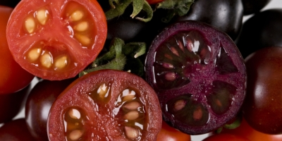 Purple tomatoes | John Innes Centre