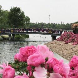 Roses in Chenshan, May 2016