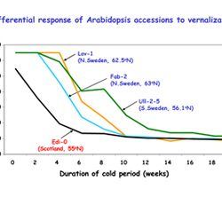 Differential response of Arabidopsis accession to vernalization