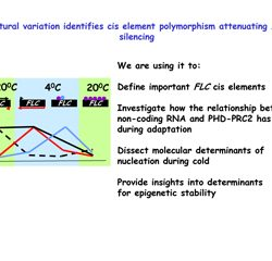 Natural variation identifies cis element polymorphism attenuating FLC silencing