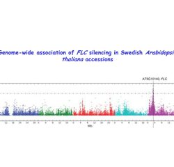 Genome-wide association of FLC silencing in Swedish Arabidopsis thaliana accessions