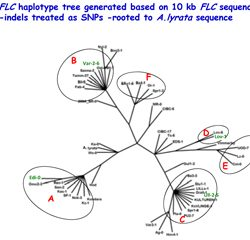 FLC haplotype tree generated based on 10kb FLC sequence-indels treated as SNPs-rooted to A.lyrata sequence