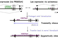 High expression via FRIGDA and low expression via autonomous pathway