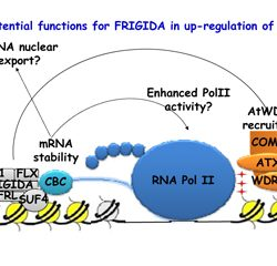 Potential functions for FRIGDA in up-regulation of FLC