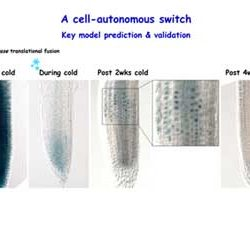 A cell-autonomous switch