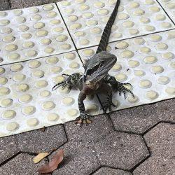 Lizard Queensland Oct 2018