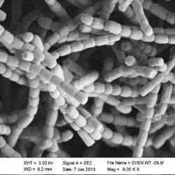 Streptomyces spores