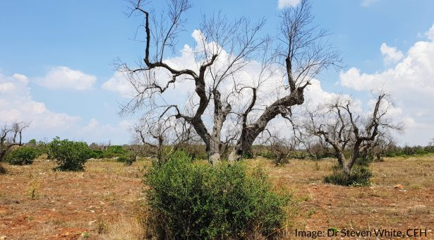 X. fas in olive trees in Puglia, Italy by Dr Steven White (CEH) https://www.ceh.ac.uk/staff/steven-white