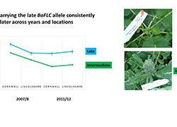 Plants carrying the late BoFLC allele consistently flower later across years and locations