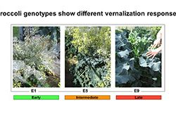 Broccoli genotypes show different varnalization responses
