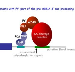 FCA interacts with FY-part of the pre-mRNA 3' end processing complex