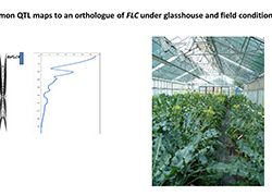 A common QTL maps to an orthologue of FLC under glasshouse and field conditions