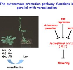 The autonomous promotion pathway functions in parrallel with vernalization