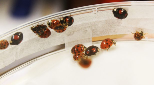 Harlequin Ladybirds at the JIC insectary