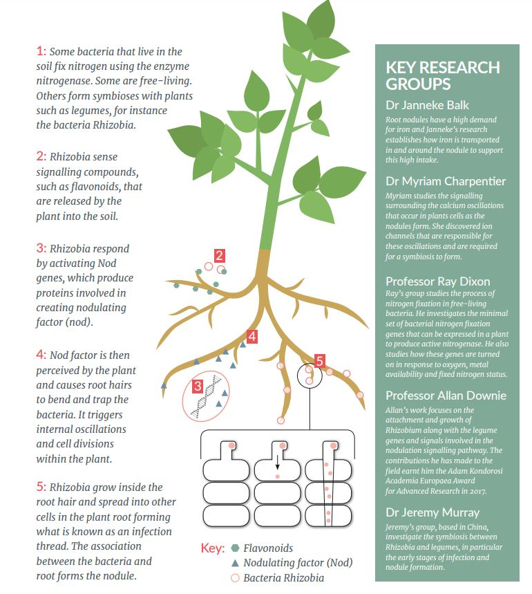 A step-by-step guide to nitrogen fixation Some bacteria that live in the soil fix nitrogen using the enzyme nitrogenase. Some are free-living. Others form symbioses with plants such as legumes, for instance the bacteria Rhizobia Rhizobia sense signalling compounds, such as flavonoids, that are released by the plant into the soil Rhizobia respond by activating Nod genes, which produce proteins involved in creating nodulating factor (nod) Nod factor is then perceived by the plant and causes root hairs to bend and trap the bacteria. It triggers internal oscillations and cell divisions within the plant Rhizobia grow inside the root hair and spread into other cells in the plant root forming what is known as an infection thread. The association between the bacteria and root forms the nodule