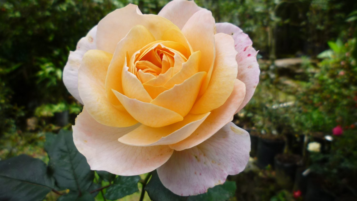 Rose named after Janaki Ammal | John Innes Centre