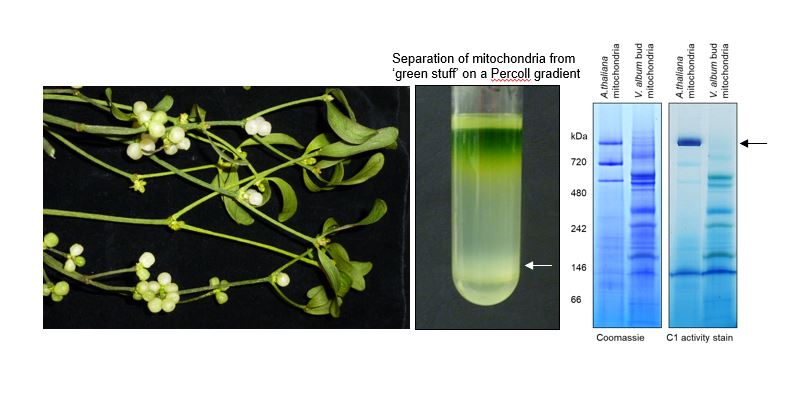 Separation of mitochondria from 'green stuff' on a Percoll gradient
