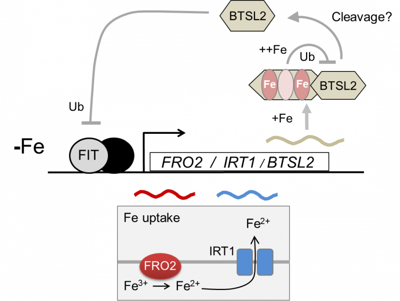 Proposed working model for the regulation of iron uptake by BTSL2