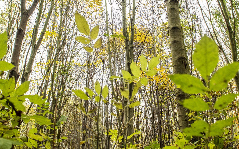 Young ash saplings