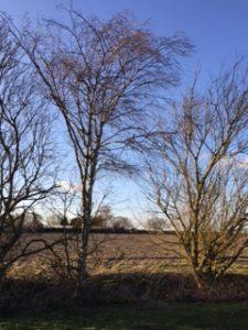 The silver birch