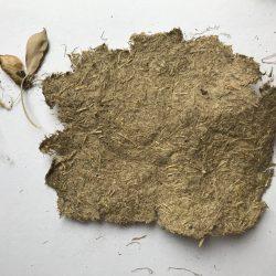 Making paper from grasspea