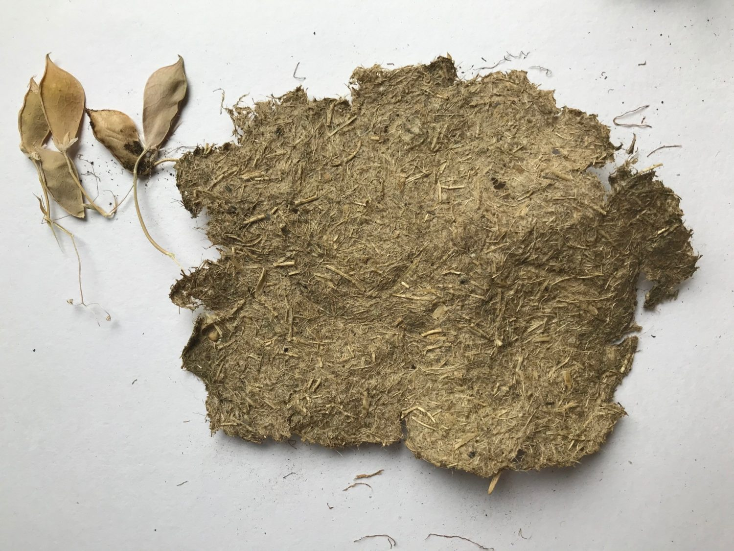 Making paper from grasspea