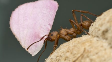 Acromyrmex sp (leafcutter ants)