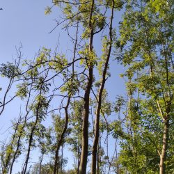 Ash in a wood with severe dieback