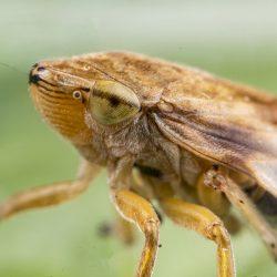 Philaenus spumarius (Spittlebug)