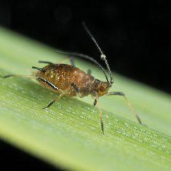 Sitobion avenae (English grain aphid)