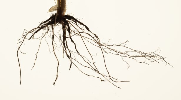 A) Original image of root crown from a field grown wheat plant (Persia44, Watkins collection)
